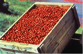 クランベリーの収穫